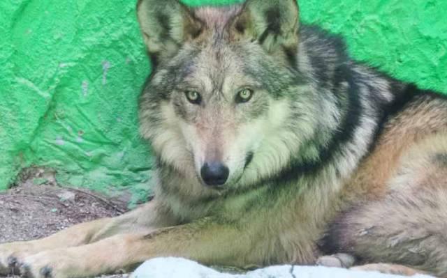 76a17f183595 Zoochilpan ya tiene lobo gris y nacen borregos - El Sol de Acapulco